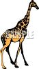 picture of an adult giraffe walking, in a vector clip art illustration clipart