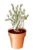 Rosemary Growing in a Pot clipart
