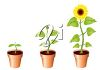 Sunflowers in Pots clipart